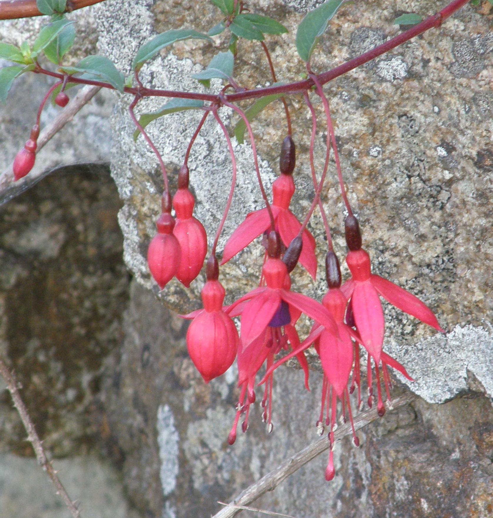 Fuchsia on Rock Wall