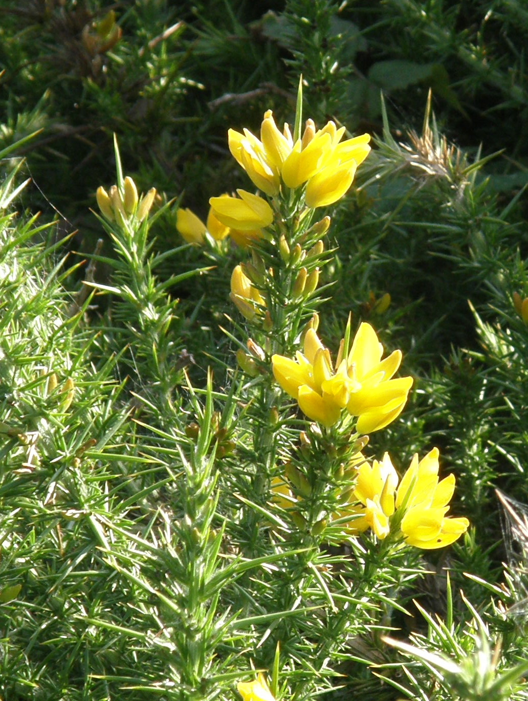 European Gorse (also called Furze or Whin)
